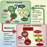 An Ancient, Unified Mechanism for Metformin Growth Inhibition in C. elegans and Cancer